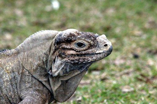 Iguana, Lizard, Reptile, Terrarium, Animals
