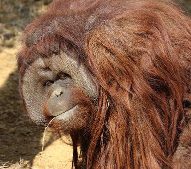 Orangutans, Animal, Boss, Long Hair