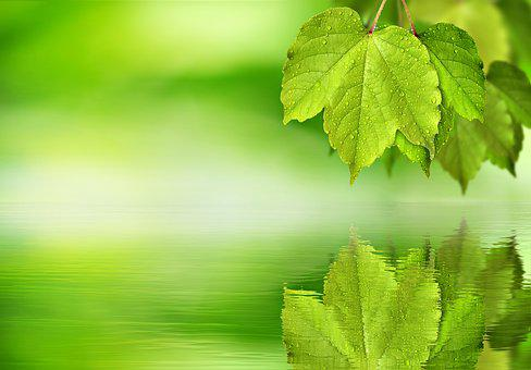 Leaf, Maple, Green, Mirroring, Water, Background, Blank