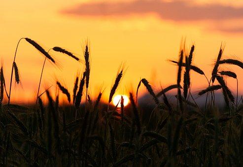 Sunset, Cereals, Back Light, Mood, Dusk, Close, Nature