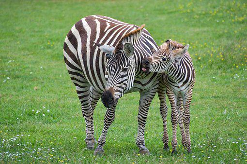 Zebra, Mother, Petit, Zébreau, Animal, Stripe, Green