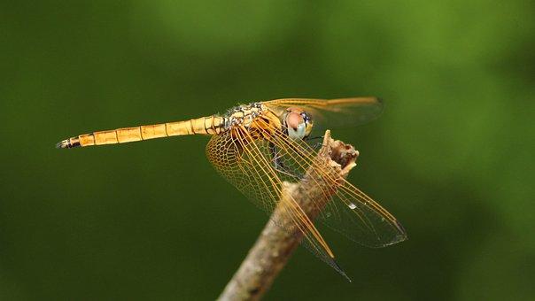 Dragon Fly, Black, Yellow, Nature, Insect, Odonata