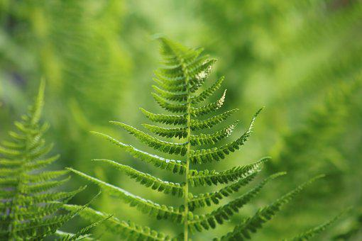 Fern, Green, Plant, Nature, Leaves, Close, Summer