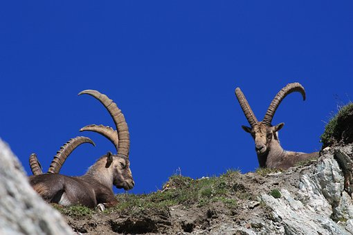 Ibex, Horns, Animal, Wild Animal, Nature, Mountain