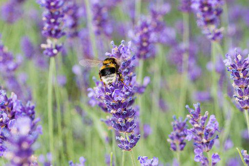 Lavender, Bee, Honey Bee, Insect, Violet, Nature