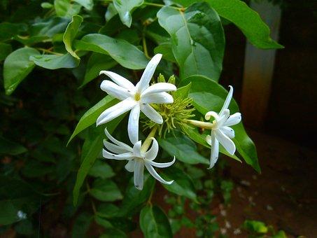 Jasmine, Nithyakalyani, Catharanthus Roseus, Flower