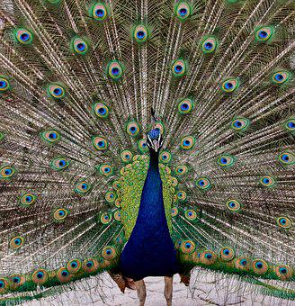 Peacock, Bird, Animal, Wheel, Poultry, Peacock Feathers