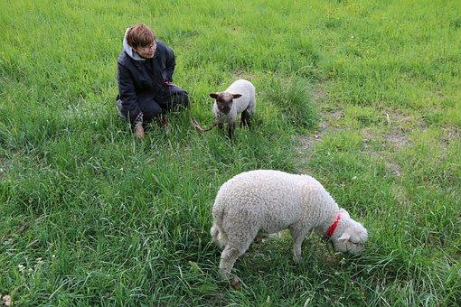 The Sheep, Lamb, Summer, Grass, Farm, Pet, Finnish