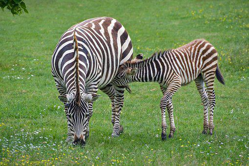 Zebra, Mother, Petit, Zébreau, Breast-feed, Suck