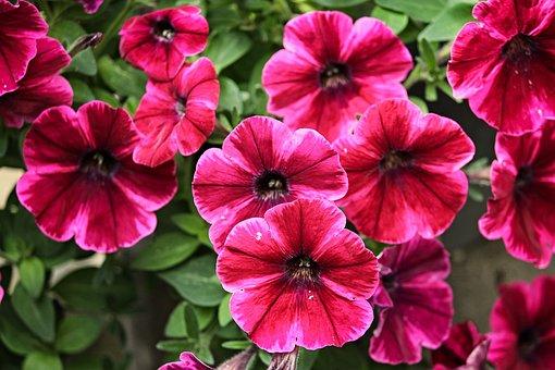 Petunia, Garden Petunia, Nachtschattengewächs, Blossom