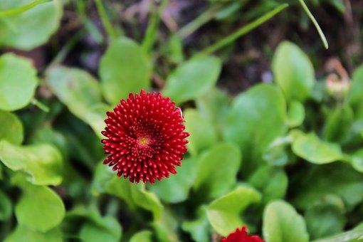 Daisy, Red Daisy, Pink Daisy, Plant, Flower