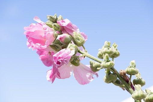 Stock Rose, Pink, Pink Hollyhock, Flower
