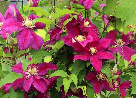 Clematis, Pink Flowers, Creeper, Ornamental Plants