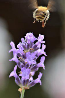 Bee, Lavender, Flower, Blossom, Bloom, Plant, Insect