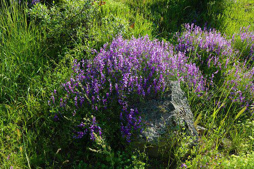 Clover, Plant, Nature, Flower, Spring, Spring Flowers