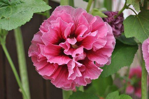 Rose Of Sharon, Garden, Plants, Nature, Pink, Korea