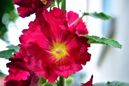 Stock Rose, Hollyhock, Poplar Garden Rose, Baby Rose
