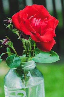 Nature, Leaf, Flower, Plant, Garden, Rose, Red, Macro