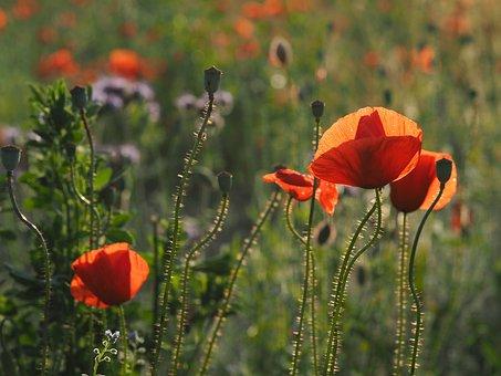 Poppy, Field Of Poppies, Mohngewaechs, Red Poppy, Red