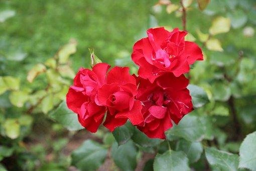 Rose, Red Rose, Rosewood, Rose Pictures, Rose Photos