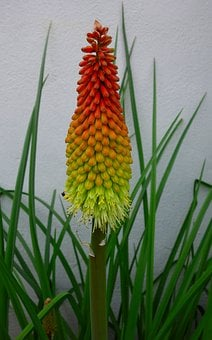 Torch Lily, Rocket Flower, Blossom, Bloom, Flower
