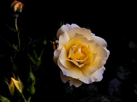 Rose, Plant, Flower, Yellow, Garden, Rose Greenhouse