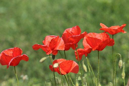 Red Poppy, Spring, Bloom, Nature, Field, Rural, Meadow