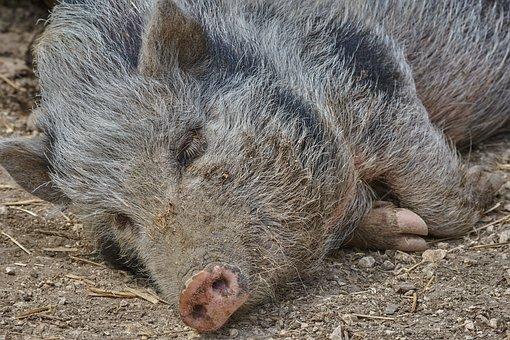 Boar, Sleep, Nature, Wild, Forest, Pig, Wild Boar, Sow