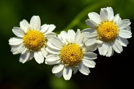 Floral, White, Small, Yellow, Composites, Three, Cute