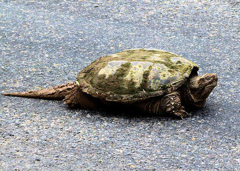 Snapping Turtle, Fresh Water, Snapping, Turtle, Aquatic