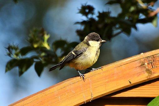 Tit, Young Tit, Foraging, Cute, Bird, Songbird, Garden