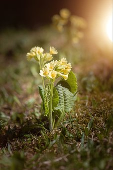 Cowslip, Pointed Flower, Spring Flower, Spring, Meadow