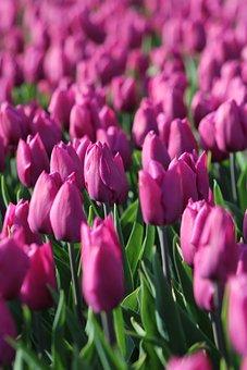 Tulips, Tulpenbluete, Holland, Purple, Violet, Spring