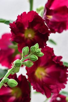 Stock Rose, Hollyhock