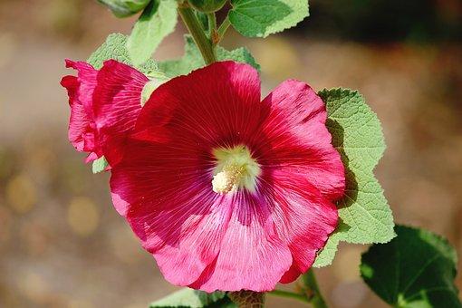 Stock Rose, Dark Pink, Alcea Rosea, Hollyhock