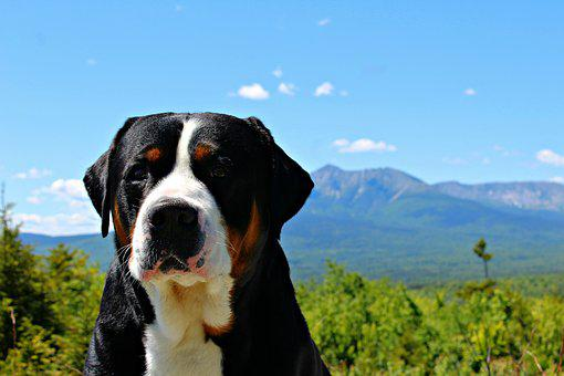 Greater Swiss Mountain Dog, Mountain, Dog, Summer