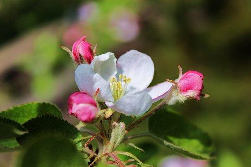 Blooms, White Flower, Spring, Apple, Jabłonka, Summer