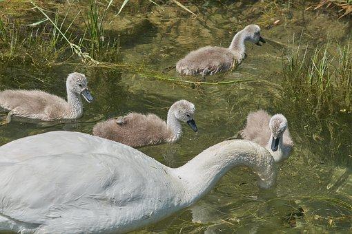 Swan, Mother, Family, Chicken, Water Bird, Swan Kücken