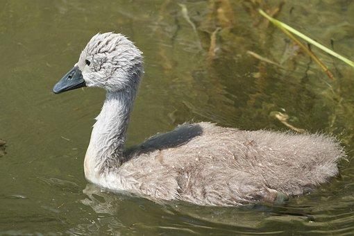 Swan, Chicken, Water Bird, Swan Kücken, Waters, Bird