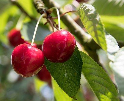 Cherries, Fruit, Fruits, Summer, Sweet Cherry, Garden
