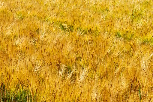 Fields, Barley, Thanksgiving, Field, Cereals, Summer
