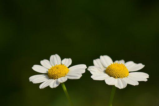 Floral, White, Small, Yellow, Composites, Two, Twins