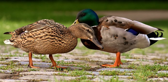 Ducks, Pair, Mallards, Colorful, Water Bird, Couple