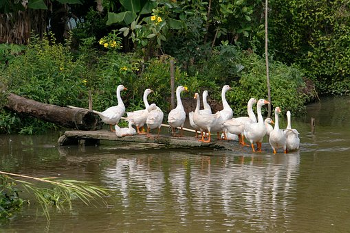 Nature, Geese, Waterfowl, Animals, Birds, Water
