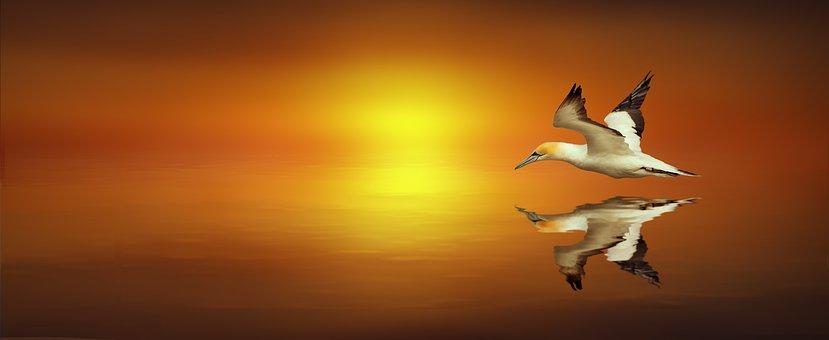 Mirroring, Northern Gannet, Bird, Fly, Waters