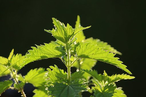 Stinging Nettle, Close, Nature, Plant, Green, Weed