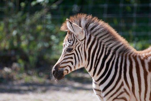 Zebra, Young, Stripes, Africa, Safari, Zebra Crossing