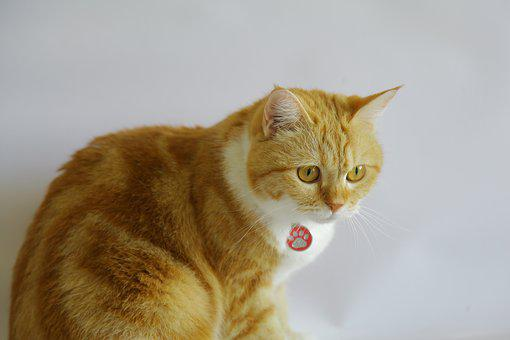 Orange Tabby, Kitten, Cat, Pet, Orange, Tabby, Animal