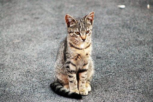 Feline, Wildcat, Animals, Domestic Cat, Cute, Animal