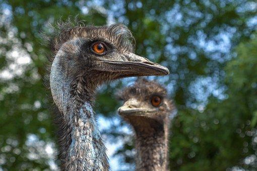 Emu Australia, Bird, Portrait, Animals, Animal, Emu